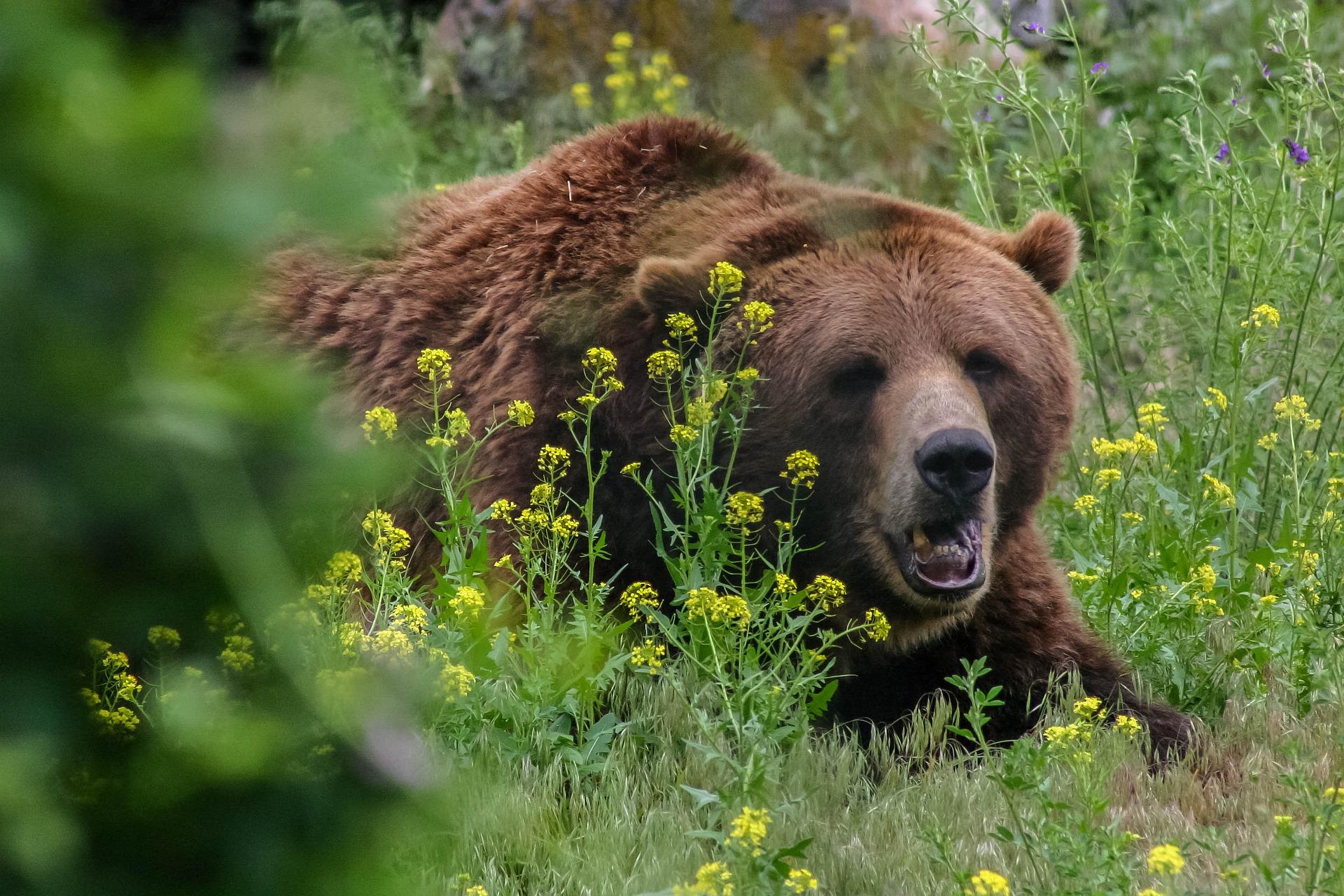 l'année du grizzly